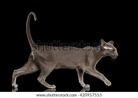 Gray Oriental Cat With Big Ears Walking, Side view, Black Isolated Background - stock photo