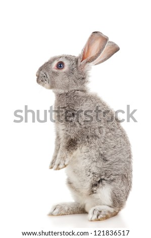 Gray rabbit, isolated on white - stock photo