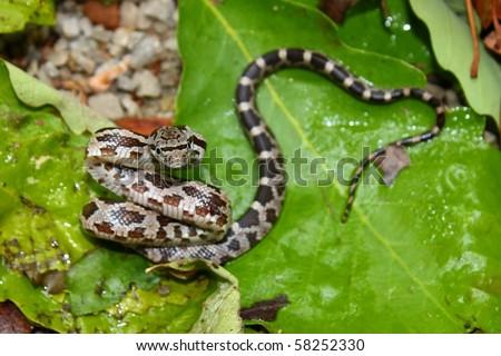 Gray Rat Snake (Elaphe obsoleta) - Alabama - stock photo