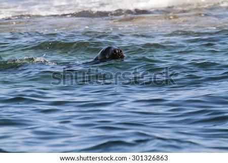 gray seal mammal marine north sea - stock photo