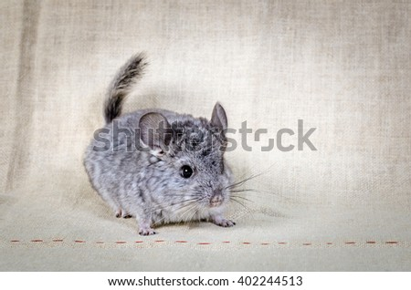 Gray small  chinchilla on a clear background - stock photo