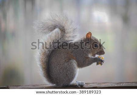 Gray squirrel eating a snack on a deck rail. - stock photo