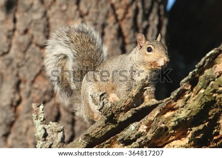 Gray Squirrel (sciurus carolinensis) in a forest in a tree - stock photo