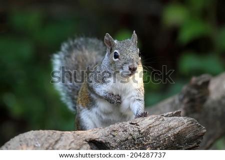 Gray Squirrel (sciurus carolinensis) sitting on a log - stock photo