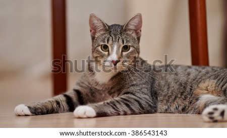 Gray striped cat  cat with white paws lies on a floor - stock photo
