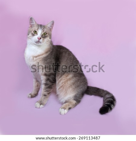 Gray striped fat cat lying on lilac background - stock photo