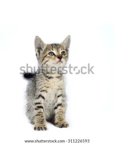 Gray striped kitten. Kitten on a white background. Small predator. Small gray kitten isolated on white background - stock photo