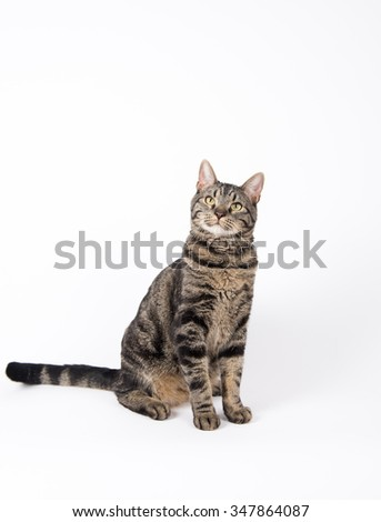 Gray Tabby Cat Sitting on White Background - stock photo