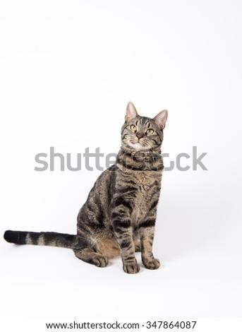 Gray Tabby Cat Sitting on White Background - stock photo