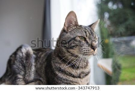 Gray Tabby Cat Watching Birds Outside Through a Window - stock photo