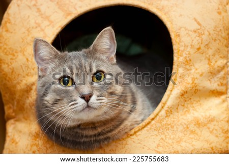 gray tabby domestic cat in the cat house portrait - stock photo