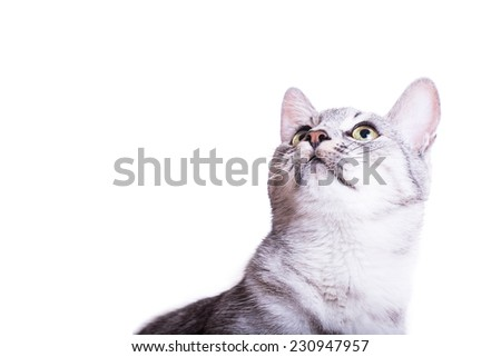 gray tabby striped cat Isolated on white background - stock photo