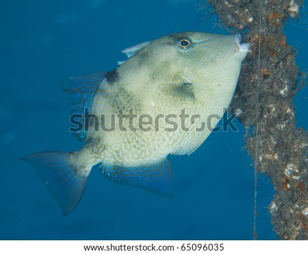 Gray Triggerfish-Balistes capriscus, picture taken in Palm Beach County Florida. - stock photo