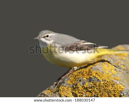 Gray wagtail perched on a stone with lichen - stock photo