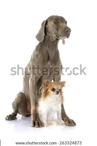 gray Weimaraner and chihuahua in front of white background - stock photo