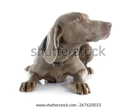 gray Weimaraner in front of white background - stock photo