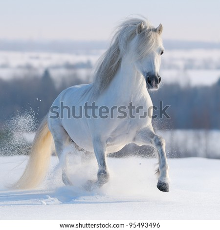 Gray Welsh pony galloping on snow hill - stock photo