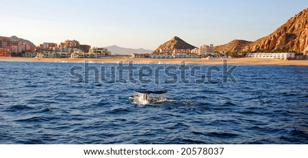 Gray whale tail in Cabo San Lucas - stock photo