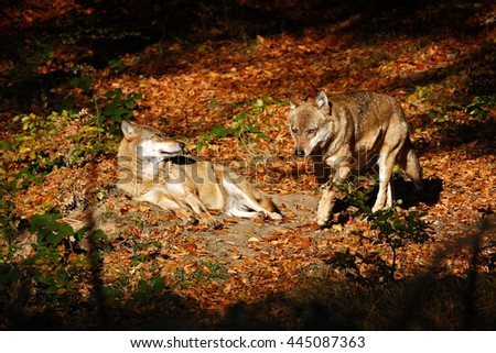 Gray wolf, Canis lupus, in the orange leaves. Two wolfs in the autumn orange forest. Animal in the nature habitat. Wildlife scene with wolfs in the autumn forest. Wolfs from Sweden - stock photo