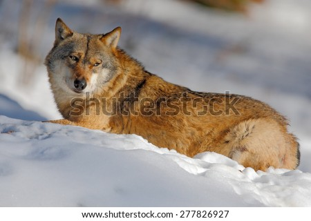 Gray wolf, Canis lupus, lying in the white during winter - stock photo