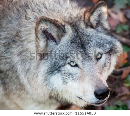Gray Wolf Closeup - stock photo