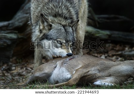 Gray Wolf Feeding on Deer - stock photo
