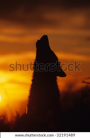 Gray Wolf Howling in Sunset - stock photo