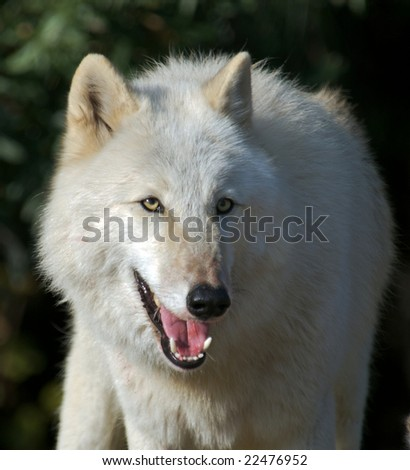Gray wolf in natural habit - stock photo