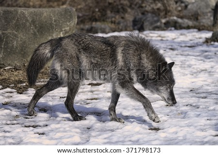 Gray Wolf in the Snow - stock photo