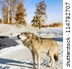 gray wolf in winter forest - stock photo