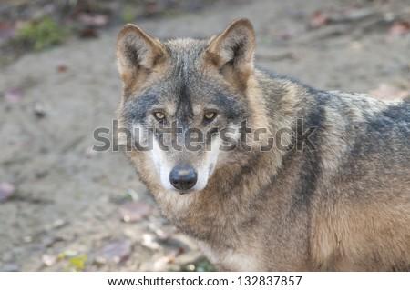 Gray Wolf Portrait - stock photo