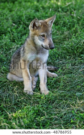 gray wolf pup - stock photo