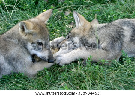 Gray wolf pups playing in grass - stock photo