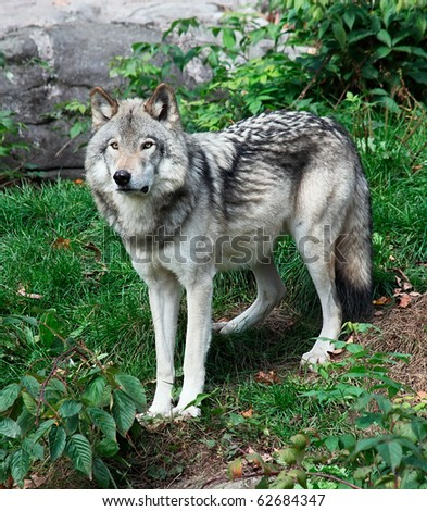 Gray Wolf Standing Looking Ahead - stock photo