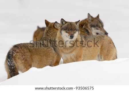 Gray wolves - stock photo