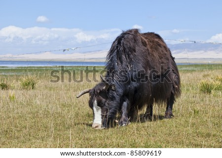 Grazing black Yak at the shore of Qinghai Lake - stock photo
