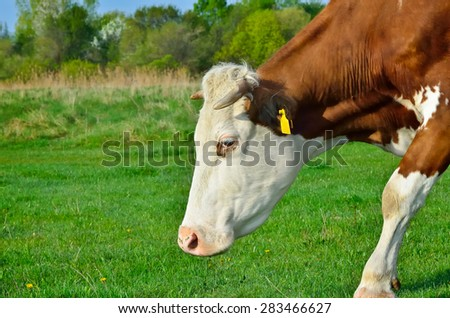 Grazing cattle in a pasture with a young green grass - stock photo