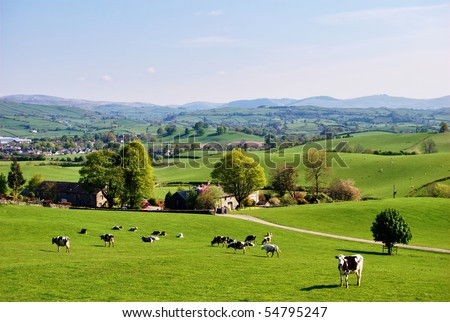 Grazing cattle on an English farm in Spring - stock photo