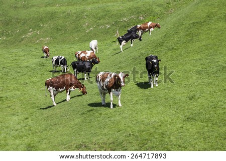 Grazing cows in spring, Holperdorp village, Tecklenburger Land, North Rhine-Westphalia, Germany, Europe - stock photo