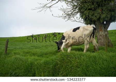 Grazing cows on a green meadow in Costa Rica highlands - stock photo