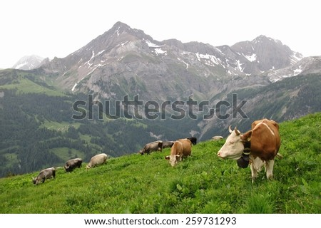 Grazing cows on a mountain meadow in the Swiss Alps - stock photo