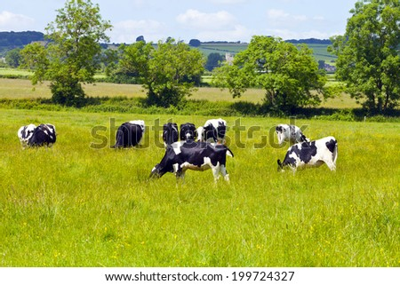 Grazing cows on the meadow in Cotswold England on hot summer day. - stock photo