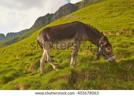 Grazing donkey on an alpine field - stock photo