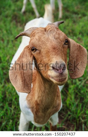 Grazing goats and green plants. - stock photo