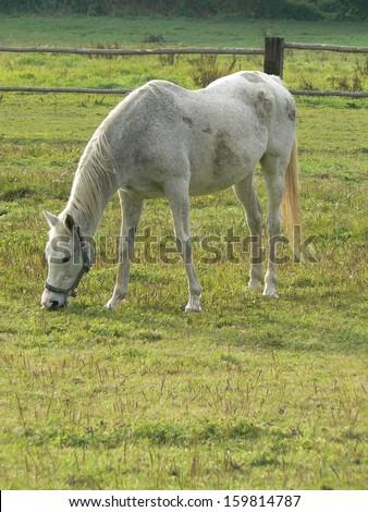 Grazing horse - stock photo