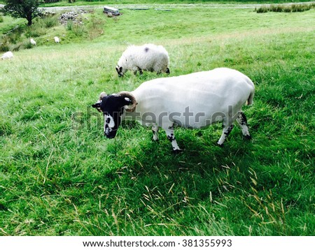 Grazing sheep at Kentmere near Kendal, England - stock photo