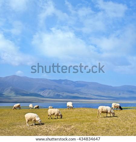 Grazing sheep at 3200 meter altitude Qinghai Lake, Qinghai province, China - stock photo