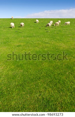 Grazing sheep on a meadow, shoot in wide-angle. - stock photo