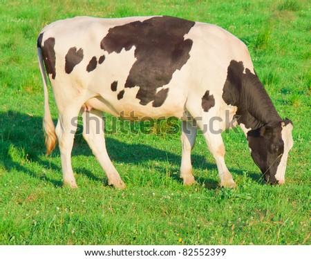 Grazing View Producing Milk - stock photo