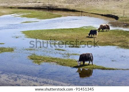 Grazing Yaks in the vast wetlands of Qinghai, China - stock photo